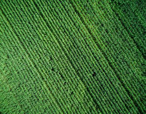 Green country field with row lines, top view Royalty Free Stock Images
