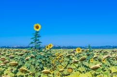 The green countryside in Cortona, Tuscany Royalty Free Stock Photo