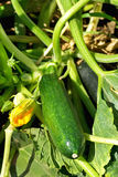 Green courgette. Royalty Free Stock Photography