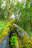 Green covered tree trunks Royalty Free Stock Image