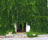 Free Green Coverlet Of An Ivy Stock Image - 4843091