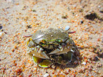 Green crab on the beach is shrinking as people. Stock Photos