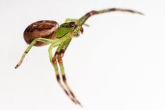 The Green Crab Spider, Diaea dorsata Stock Photos