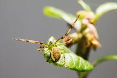 The Green Crab Spider (Diaea dorsata) Royalty Free Stock Photography