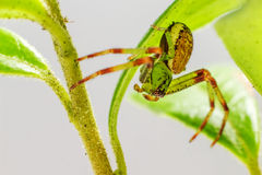 The Green Crab Spider (Diaea dorsata) Royalty Free Stock Photos