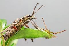 The Green Crab Spider (Diaea dorsata) Royalty Free Stock Photo