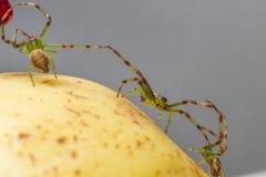 The Green Crab Spider (Diaea dorsata) Stock Images