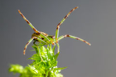 The Green Crab Spider (Diaea dorsata) Stock Photo