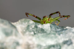 The Green Crab Spider, Diaea dorsata Royalty Free Stock Images