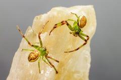 The Green Crab Spider (Diaea dorsata) Stock Photography
