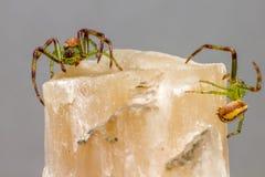 The Green Crab Spider (Diaea dorsata) Stock Image
