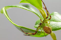The Green Crab Spider (Diaea dorsata) Stock Image