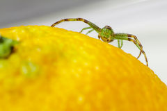 The Green Crab Spider (Diaea dorsata) Royalty Free Stock Photo