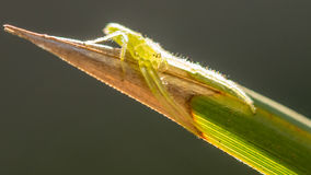 Green Crab Spider Stock Photography