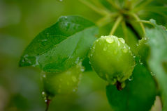 Green Crabapple Stock Photography