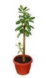 Green Crassula plant isolated on white Stock Image
