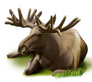 Moose resting. Male adult moose with big horns. Il Stock Image