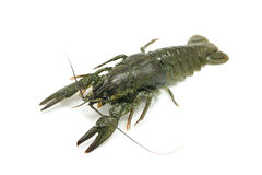 Green crayfish Royalty Free Stock Image