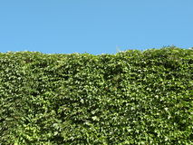 Green creeper Royalty Free Stock Photo