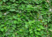 Green creeper on cement wall. Green creeper plant on cement wall stock photos