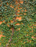 Green creeper on cement wall stock images