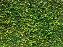 Green creeper leaves. Green creeper plant covering the wall with leaves Stock Photo
