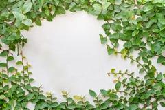 Green creeper plant Stock Photos