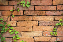 Green creeper plant on a brick wall Stock Photography