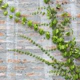 Green Creeper Plant Royalty Free Stock Photo