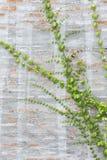 Green Creeper Plant Stock Photography
