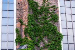 Green creeper plant on the brick wall. With windows Stock Image