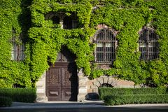Green creeper plant on the brick wall. With windows Royalty Free Stock Images