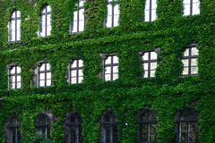 Green creeper plant on the brick wall. With windows Stock Photo