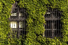 Green creeper plant on the brick wall. With windows Royalty Free Stock Photography