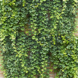 Green creeper Stock Image