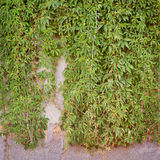 Green creeper plant, brown plank wall background Stock Photo