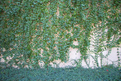 Green creeper plant on the concrete wall Royalty Free Stock Photo