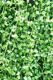 Green creeper plant (Dischidia pectinoides) Royalty Free Stock Image