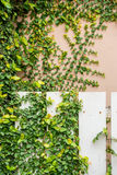 Green Creeper Plant on fence. And Wall Stock Photo