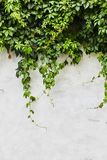 The Green Creeper Plant on stock image