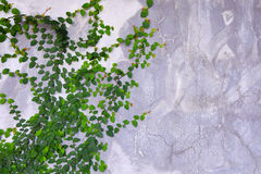 Green Creeper Plant growing  cement wall Stock Image