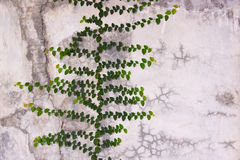 Green Creeper Plant growing on cement wall Royalty Free Stock Image