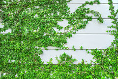 Green Creeper Plant growing on wood wall Stock Photos