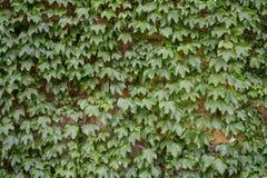 Green creeper plant Stock Image