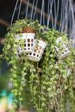Green Creeper Plant. Royalty Free Stock Image