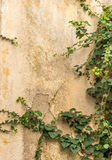 The Green creeper plant on old house wall Stock Photo