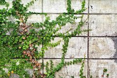 The Green Creeper Plant on Wall Background. The Green Creeper Plant on old Wall Background Royalty Free Stock Image