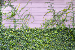 The green creeper plant on the pink wooden wall for background Royalty Free Stock Images
