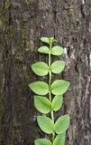 Green creeper plant. On the stem Stock Images