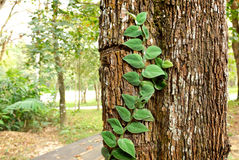 The Green creeper plant. On tree Stock Image